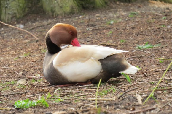 2013-4-25 Kew redcrested pochard 2